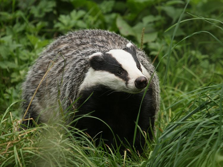 Badger in Hamburg