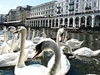 Alster swans in front of the exclusive shopping arcades