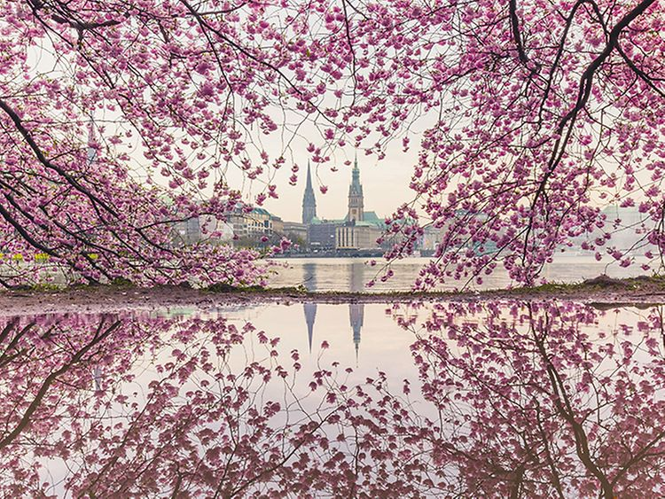 Cherry Blossom Festival in Hamburg, Germany