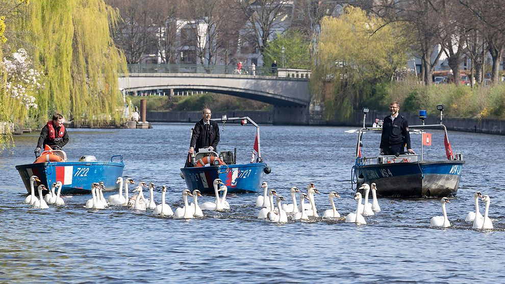 The Alster Swans in Hamburg, Germany